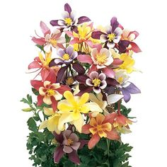 Amazon.com : Burpee Harlequin Mix Columbine Seeds 150 seeds : Garden & Outdoor Columbine Flower, Burpees, Seeds, Floral Wreath, Wreaths, Amazon, Garden, Flowers, Outdoor