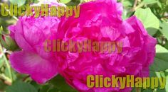 #Natures #Flowers #Pink #Rose #Photography #Digital #Art by #ClickyHappy #etsy