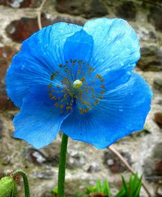 Himalayan Blue Poppy  by JeanM1, via Flickr