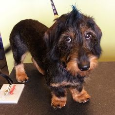 Dachshund Puppies River the Wirehaired Dachshund Dachshund Breed, Wire Haired Dachshund, Dachshund Love, Daschund, I Love Dogs, Cute Dogs, Animals And Pets, Cute Animals, Clever Dog