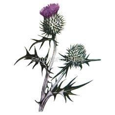 Scottish Thistle Drawing - bold, beautiful, dangerous