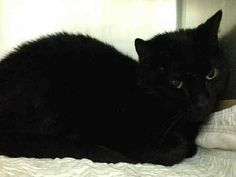 NYC TO BE DESTROYED 05/01/15 **BEAUTIFUL & SWEET** Though NOONY was hesitant at 1st, after a few minutes the assessor was able to coax her, & she did respond back with a few head rubs . ID #A1033397. Female black about 2 YEARS STRAY https://www.facebook.com/nycurgentcats/photos/a.998500743501246.1073742671.220724831278845/998500786834575/?type=3&theater