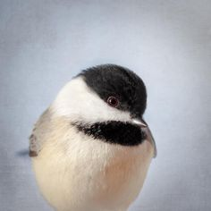 "Bird Portrait, Fine Art Bird Photography Print ""Chickadee No. 14"" from Rocky Top Studio"