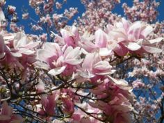 "I call these ""Tulip Trees""... One of the first to bloom each Spring in Washington, DC. BuyersAgent.com"