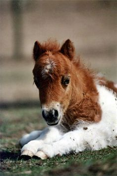 Mini Horse - So adorable! Cute Baby Horses, Tiny Horses, Pretty Horses, Horse Love, Beautiful Horses, Animals Beautiful, Horse Pictures, Animal Pictures, Animals And Pets