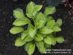 Hosta 'Pocketful of Sunshine'. Mostly shade, perfect for the porch