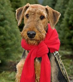 Airedale Terrier - my first dog - O'Malley. We grew up thinking he was an Irish Terrier (doesn't have the saddle markings) so evidently that is what our parents were told. Very smart dog
