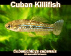 Cuban Killifish