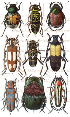 Vintage Beetles Art Illustrations - Bug Insects Oddities Mounted Specimens Collectors Display - Digital Image