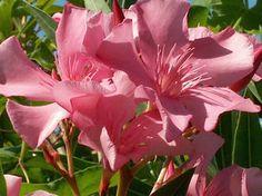 OLEANDER HAUS  Nerium Oleander Gotsis Arachne Rose Bay, Nerium, Sweet, Plants, Vintage, Gardening, House, Plant, Vintage Comics