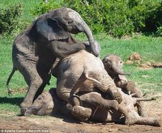 A favorite pic, 300-lb ea baby #elephants climbing on top of each other (their favorite play) pic.twitter.com/TRo2AoFaT7
