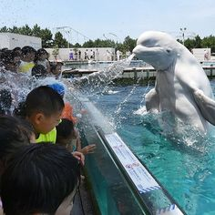 #Gotcha squirt! A #beluga whale sprays water at visitors during a  summer attraction at the Hakkeijima Sea Paradise aquarium in Yokohama in suburban #Tokyo. Photo by Toshifumi Kitamura AFP/Getty Images http://usat.ly/UIWfQI  #Whales #Japan #Summer #PerfectTiming by usatoday