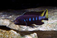 Metriaclima sp.Elongatus Chewere Tropical Aquarium, Tropical Fish, Aquarium Fish, Malawi Cichlids, African Cichlids, Lake Tanganyika, Rare Fish, Clay Fish, Fishing World