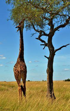 Giraffe; Kenya