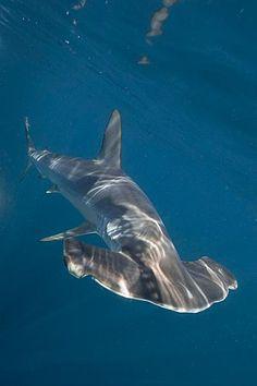 hammerhead shark, florida keys