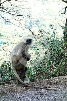 Photo about A grey langur monkey sits on top of a distance marker on the side of the road surveying the scene. Each monkey is unique and has personality. Image of calmness, hanuman, gentle - 69520074 Side Road, Hanuman, Monkeys, Marker, Distance, Personality, Elephant, Scene, Stock Photos