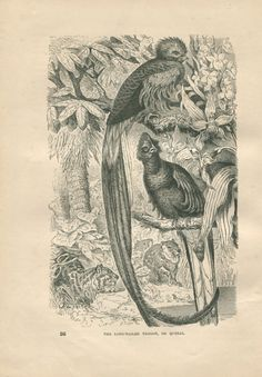 1889 Vintage Bird Print Quetzal or Long-Tailed by CarambasVintage