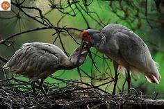 https://www.facebook.com/WonderBirdSpecies/ Japanese crested ibis/Toki (トキ- 朱鷺)(Nipponia nippon); Northeast Asia; IUCN Red List of Threatened Species 3.1 : Endangered (EN)(Loài nguy cấp) || Cò quăm mào Nhật Bản/Cò son; Vùng Đông Á; HỌ CÒ QUĂM - THRESKIORNITHIDAE (Ibises, Spoonbills).