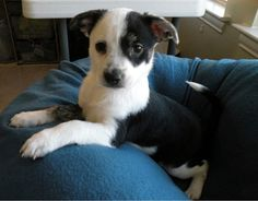 Panda is a 10 week old female Chihuahua mix. She is very friendly and gets along with everyone. She is all puppy so will need further training in housebreaking, chewing, etc. She would make a great addition to your family!If you would like to meet...