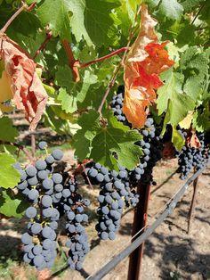 Black Stallion Winery, Napa Valley