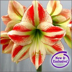 Houseplants That Filter the Air We Breathe Amaryllis Love Triangle - New And Exclusive Inside Plants, All Plants, House Plants, Indoor Plants, Philodendron Scandens, Easy To Grow Houseplants, Easy To Grow Bulbs, Amaryllis Bulbs, Amarillis