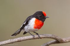 Red-capped Robin   Flickr - Photo Sharing!