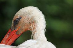 Storch aus Duisburger Zoo