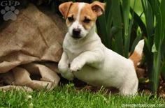 chihuahua jack terrier mix for sale 1000 images about jackhua on pinterest chihuahua mix 7474