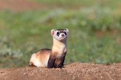 Black-footed Ferret, Status: Endangered except, as of 1991, a non-essential experimental population in Wyoming and portions of other Western states.