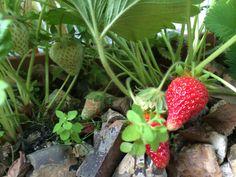 Trough strawberries June 2014