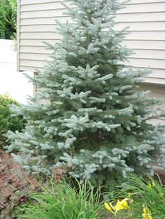 Colorado Blue Spruce 'Fat Albert'