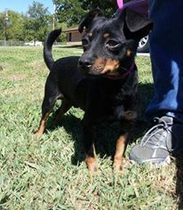 This is Bullseye #2534. He is a Chihuahua min pin mix. He is a  very sweet and goofy boy! Loves attention! He loves to be held! He arrived at the shelter as a stray 9/27/13