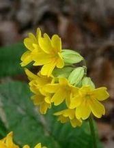 La planta Primavera|Hierbas medicinales