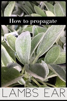 How to propagate Lamb's Ear (Stachys Byzantina) In this article we will detail how we propagate Lamb's Ear (Stachys Byzantina). Propagating Plants, Planting Flowers, Stachys Byzantina, Ear Seeds, Flower Pot Design, Perennials, Lambs Ear Plant, Plant Care, Vegetable Garden Raised Beds