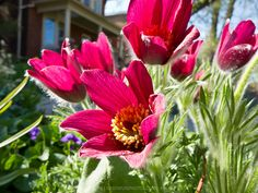 """Pulsatilla vulgaris """"Rote Glocke"""" - not sure if this is the red one I want. Would prefer not to have yellow centres."""