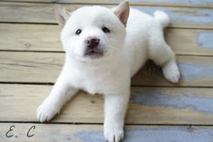 Shiba Inu Puppies: Cute Pictures And Facts - Dogtime White Shiba Inu Puppy, Akita Inu Puppy, Akita Puppies, Baby Puppies, Cute Puppies, Cute Dogs, Dogs And Puppies, Doggies, Baby Animals