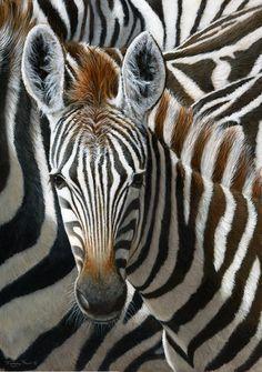 Zebras.                                                            (Photo By: Jeremy Paul.)