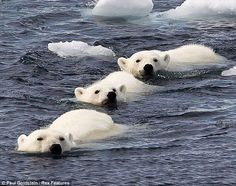 Let's get out of here: The three bears plunge into the water to escape the hungry male
