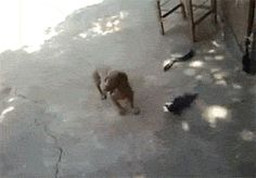 Kitten's Mama To The Rescue! Go Mama! Don't like the fact that the person in the video tried to shove or kick the cat away from the dog that picked up kitten, and was shaking the kitten, like a chew toy!!!!