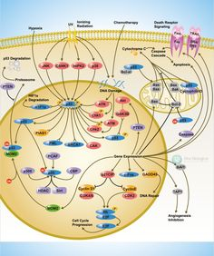 Sino Biological: P53 Scientific Pathway Poster