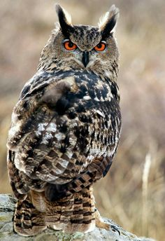 owl with orange eyes Beautiful Owl, Animals Beautiful, Cute Animals, Owl Photos, Owl Pictures, Owl Bird, Pet Birds, Bird Art, Great Horned Owl