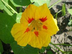 Nasturtium Blossom-Jewel Mix (August 14, 2013)http://marvandweenzpepperinggenes.com/photo-gallery-2/