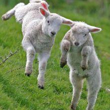 Old MacDonalds Farm Lambs