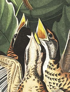 Free Audubon prints to download. John James Audubon's Birds of America