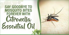Considering all of the dangers that are associated with commercial bug spray products, it's time to switch to citronella essential oil to keep mosquitoes away for good. This totally safe and natural bug repellent will keep you free of mosquito bites.