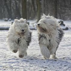 South Russian Sheepdog...