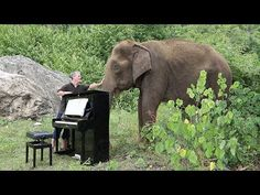 """Debussy """"Clair de Lune"""" for a gentle female elephant called Ampan. Ampan is 80 years old and lives with us as Elephants World in Thailand. She is blind in on. Elephant World, Best Amazon Deals, Cool Tree Houses, Play S, Natural Life, Cute Gif, Deviantart, Year Old, Make Me Smile"""