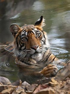 A young male tiger cools off in India's Ranthambore National Park, where tigers now number less than 40 due to poaching - via Amazing Wildlife