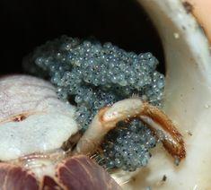 Breeding: Captive Breeding Information and Resources - HCA: Hermit Crab Association Hermit Crab Tank, Hermit Crab Shells, Hermit Crabs, Hermit Crab Habitat, Pets, Animals, Image, Animales, Animaux