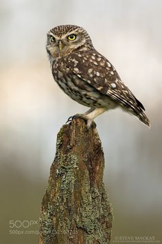 Little Owl by stevemackayphotography #animals #animal #pet #pets #animales #animallovers #photooftheday #amazing #picoftheday